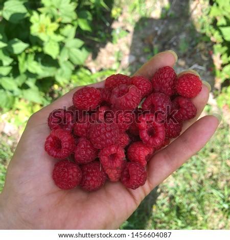 Handful of freshly picked raspberries with a human shadow.