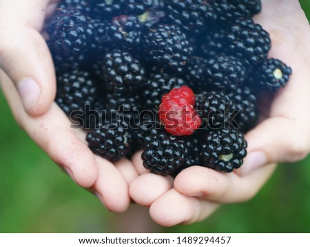 Handful of riped blackberries and one raspberry in the child palms of hands in the summer garden in day. When you're not like everyone else. Natural backgroundfor poster, postcard, greeting cards