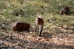 Handicapped bonnet macaque monkey walking in the park.