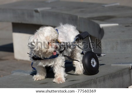 Handicapped Maltese Dog with Wheels - stock photo