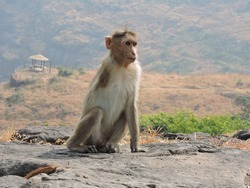 handicapped monkey sitting on a rock at mountain hill. monkey's one hand is lost as he born with defect