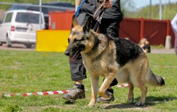 Handler walking a working german shepherd to the training field