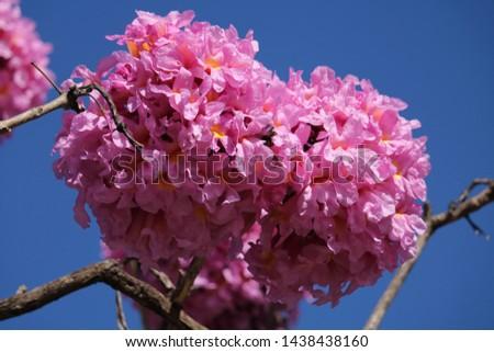 Handroanthus impetiginosus pink lapacho - pink trumpet tree