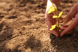 Hands care about new vineyard, young plants of grape with copy space. Planting grape to the soil.