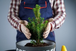 Hands close-up of male gardener in uniform and gloves transplants house plant of genus of coniferous evergreen trees into new pot on gray background inside. Replanting small spruce tree in big pot.