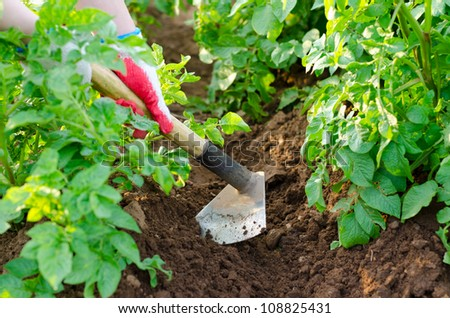 hands earth up potato plants with a hoe
