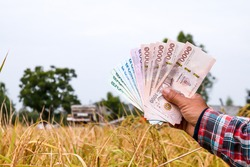 hands farmer are holding thai banknote in rice field, money thai baht in hand farmer, hand are holding money banknote of thailand, rice trading or selling concept in harvest season of rice production