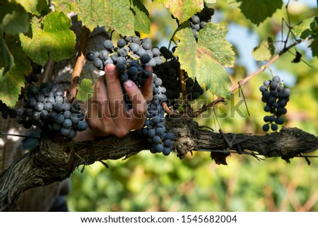 Hands harvesting red wine grape bunches in the vineyard