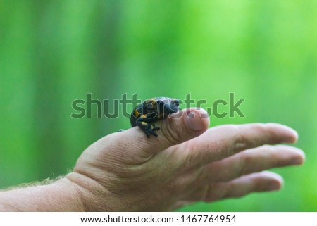 Hands hold yellow-black salamander. Carpathian salamander