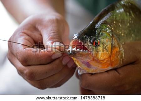Hands holding a big piranha taken on Napa river, Ecuador