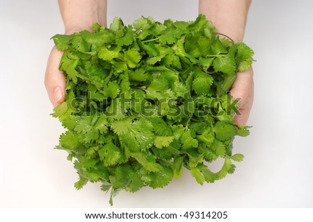 hands holding a bunch of cilantro, also called coriander or chinese parsley, scientific name coriandrum sativum