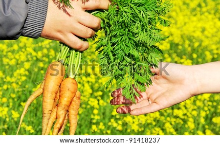 hands holding a fresh and ripe carrots