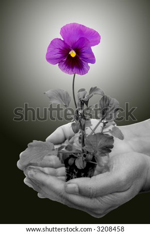 hands holding a pansy plant with a flower in full bloom