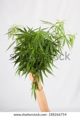 hands holding fresh cannabis bouquet
