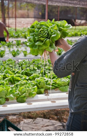 Hands holding hydroponics vegetable(Butter head)