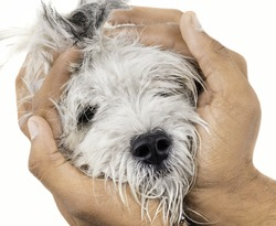 Hands Holding Maltese Canine Puppy Dog isolated on White Background
