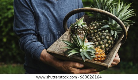 Hands holding pineapple organic produce from farm