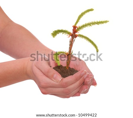 hands holding  small seedling of fir tree
