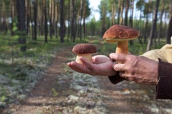 Hands holding two pine bolete mushrooms (Boletus pinophilus) found in a forest. Picking bolete mushrooms in a forest.