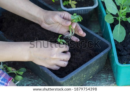 Hands holding young green plant in rustic background. Agriculture, horticulture,  plant seed growing, spring, vegetable gardening in small space, vegetable growing in the country, transplant seedlings Foto stock ©