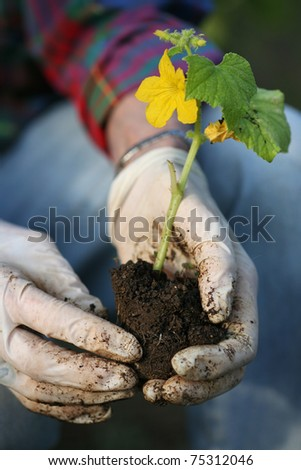 Hands in gloves planting new plant in soil. Closeup, shallow DOF.