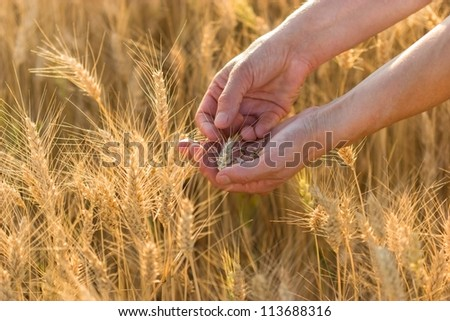 Hands in wheat - stock photo