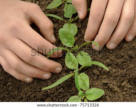 hands loosen young spinach seedlings #75713326