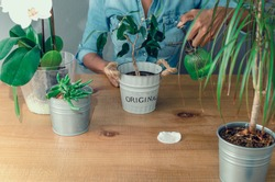 Hands of a black woman spraying water or fertilizer to an indoor plant (Ficus benjamina, commonly known as weeping fig) on a wooden table. Selective focus on the pot in the center.