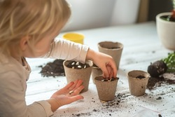 Hands of a small child planted seeds at home. Seeds of courgette or pumpkin in open palm of child. Earth day concept. nurturing baby plant. protect nature. Peat pots for planting