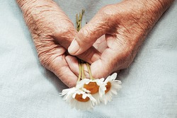 Hands of an old woman holding daisy flowers. The concept of longevity. Seniors day. National Grandparents Day. Artwork photography