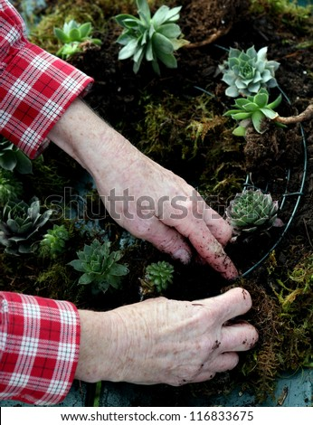 Hands of elderly woman crafting a succulent wreath.