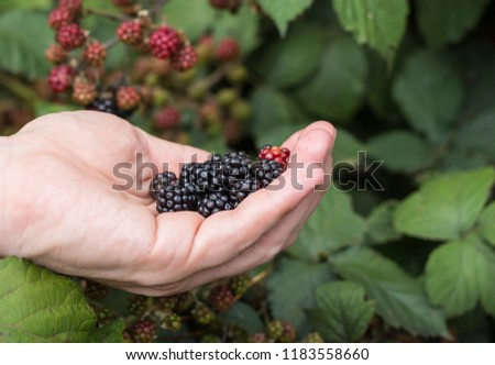 Hands of farmers with freshly harvested fruit. Fresh organic BlackBerry. #1183558660