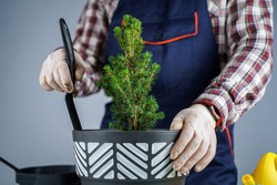 Hands of male gardener transplant small fir tree into new pot in studio on gray background. Gardening and care of domestic plants. Transplanting houseplant spruce from small to large pot at home.