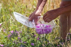 hands of old man gathering mauve flowers to decorate the dishes