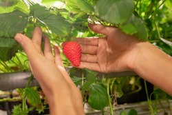 Hands of young female gardener or greenhouse worker holding ripe red strawberry while picking them during work