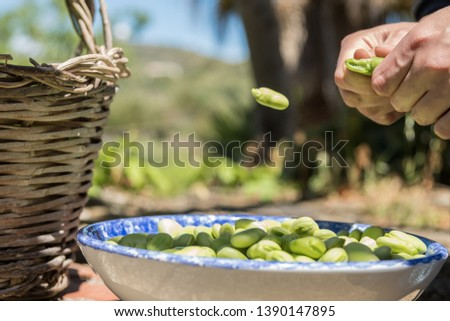Hands opening pods of fresh broad beans. Broad bean falling on a plate. Healthy eating, agriculture