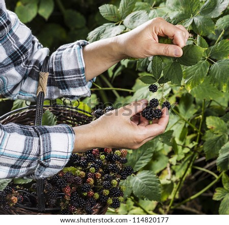 Hands picking blackberries during main harvest season with basket full of blackberries.