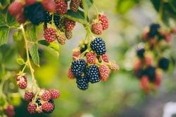 Hands picking blackberries during main harvest season with basket full of blackberries. ripe and unripe blackberries grows on the bush. . Berry background. Female hands hold blackberries.