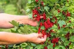 Hands picking fruits of red currant berries from the bushes in the summer garden, harvest season