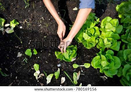 hands picking green lettuce, salad in vegetable plot, organic concept