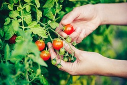 Hands picking tomato from plant