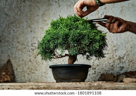 Hands pruning a bonsai tree on a work table. Gardening concept. Photo stock ©