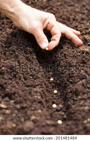 Hands putting seed in the ground - soy seed