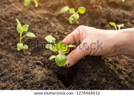 Hands seeding plants in gardenin sunlight close up. New life concept #1278468616