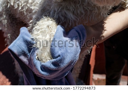 hands senate a dog with towel