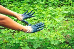Hands showing dye indigo color on indigo garden (Indigofera tinctoria) element of dying indigo cotton, its craft symbolic