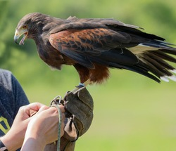 Hands tying down Harris Hawk during training.