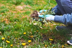 Hands wearing garden gloves, removing and hand-pulling Dandelions weeds plant permanently from lawn. Spring garden care background.