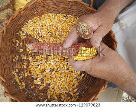 Hands with corn. Traditional labor.