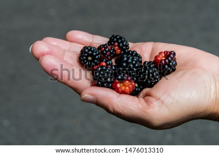 Hands with freshly harvested fruit. Fresh organic BlackBerry. #1476013310